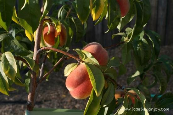 Succuluent Peaches