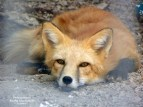 Done foxing around