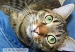 tabby-cat-photograph-by-kathy-mackenzie