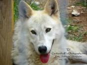 wolf-kathy mackenzie-animal photographer