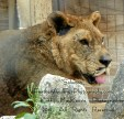 Lion-kathy mackenzie