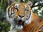 bengal tiger-kathy mackenzie