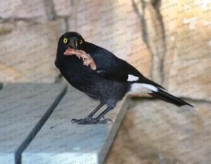 Australian magpie 2