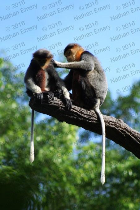 Diana Monkeys