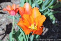 Close up Orange tulip