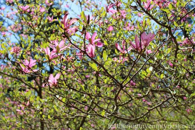 Tulip Magnolia in the Spring Garden --A Spring Tour Of The Biltmore Estate Gardens