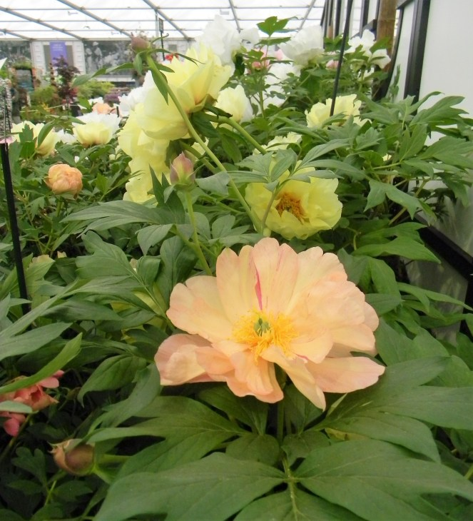 Delicate pale peach peony, 2018 Chelsea Flower Show --Why The Chelsea Flower Show Should Be On Your Bucket List