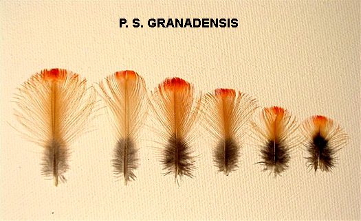 Luc_Plate_granadensis