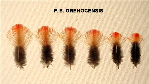 Luc_Plate_orenocensis_female