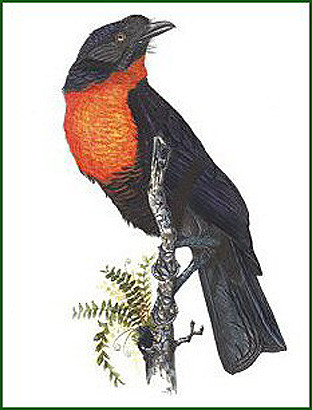 Red Ruffed Fruit Crow
