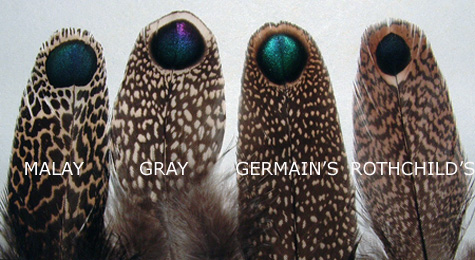 various_peacock_pheasants