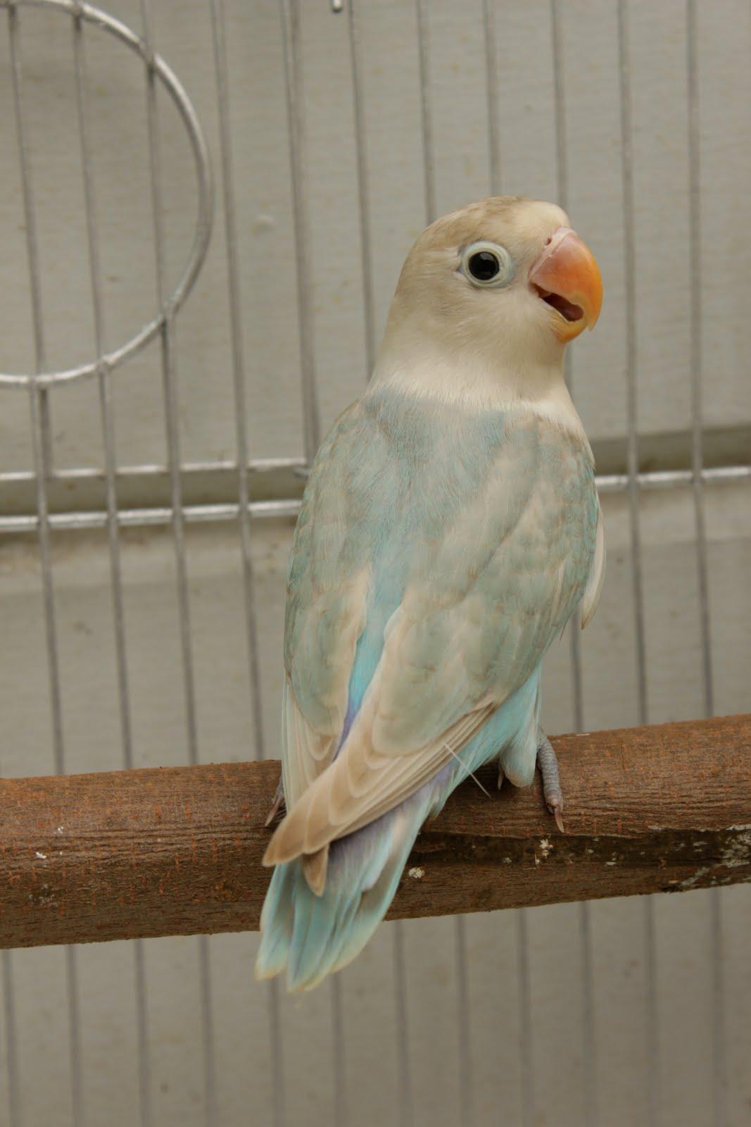fischer lovebird pastel agapornis