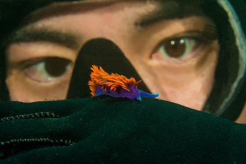 Spanish Shawl Nudibranch Dazzles Underwater  Featured