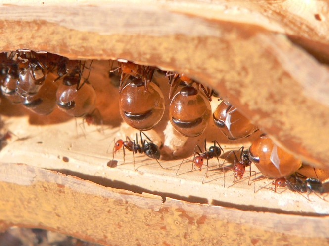 Sugar Ants Also Eat Fats Proteins Obtained From Eating Other Insects And Plant Pollen Once They Find A Food Source Ll Haul Back To Their
