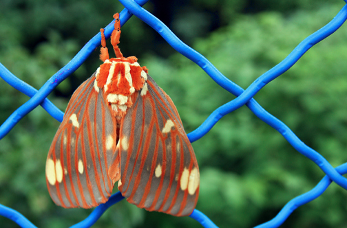 Meet the Hickory Horned Devil  Featured Creature