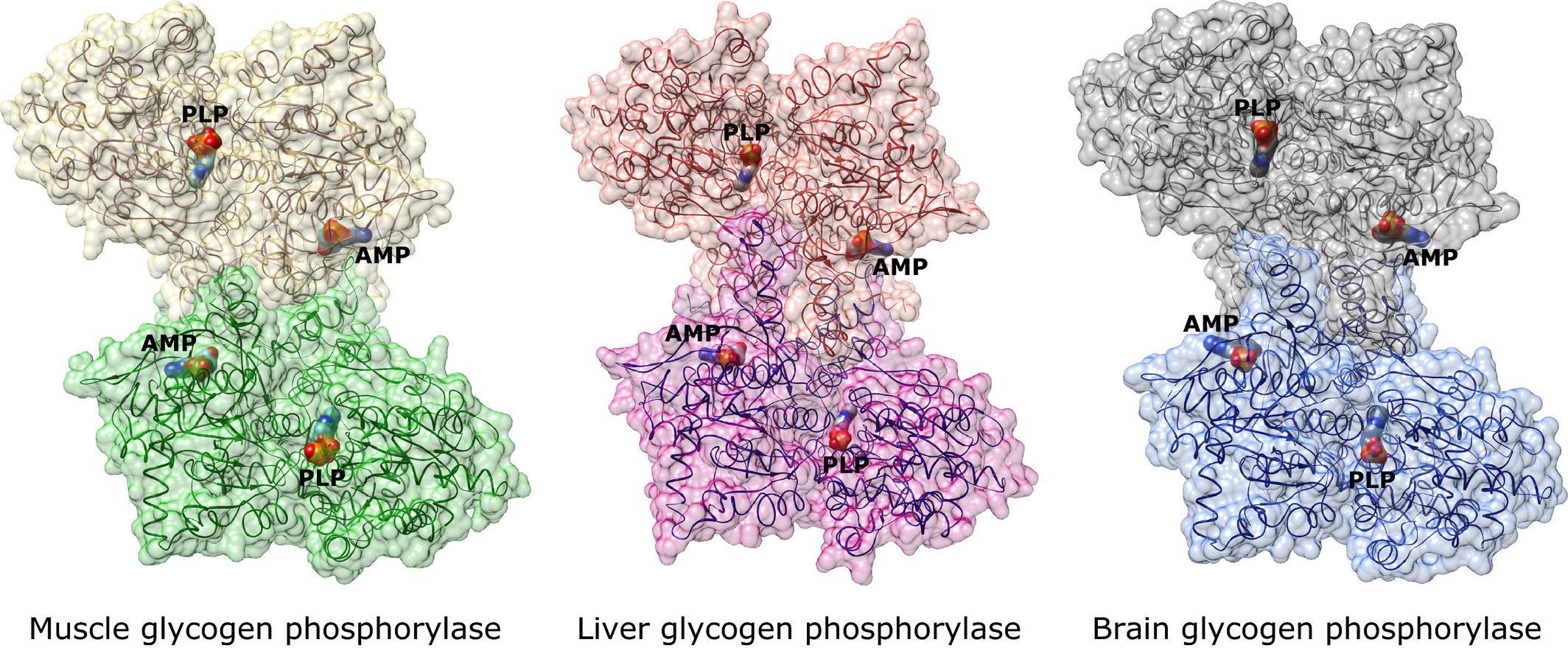 The structure of brain glycogen phosphorylase—from ...