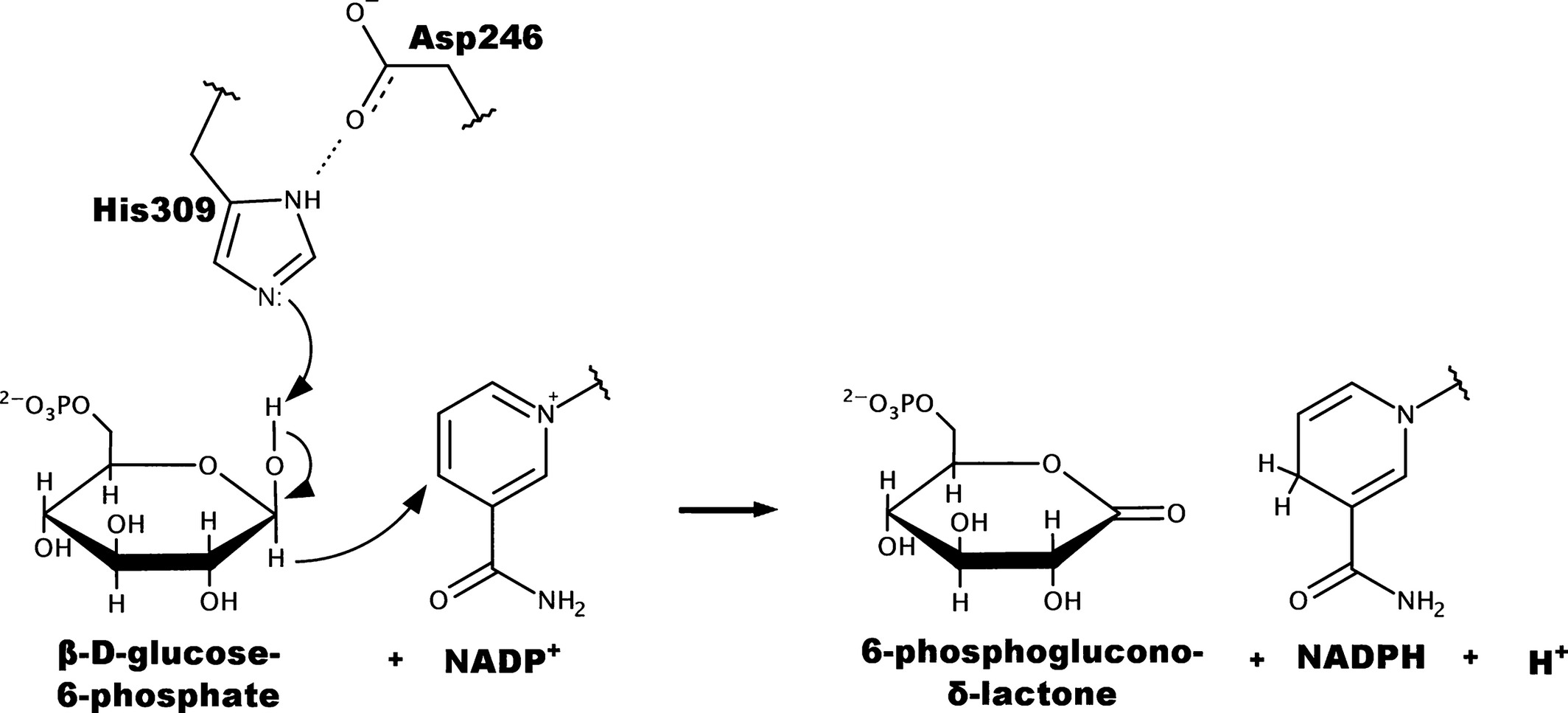 The Structure Of A Trypanosoma Cruzi Glucose 6 Phosphate