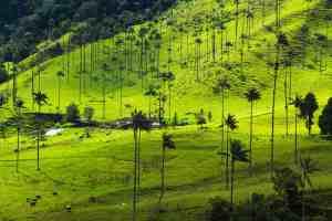 Cocora Quindio