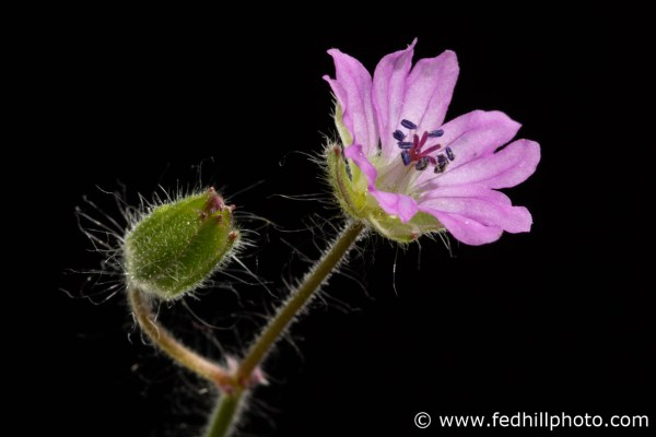 Fine art photo of a pink flower. Flower is named Geranium molle linnaeus, dovesfoot geranium, or dove's-foot crane's-bill.