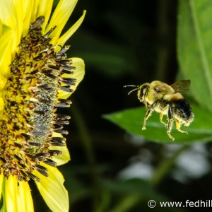 Fine art photo of common eastern bumble bee, or Bombus impatiens, approaching a sunflower.