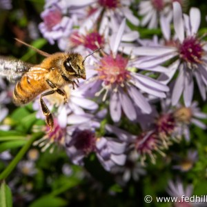 Fine art nature photo of honey bee and blue wood aster.