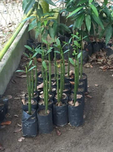 Sorsogon-sourced mangrove seedlings for La Union coastal zone plantings