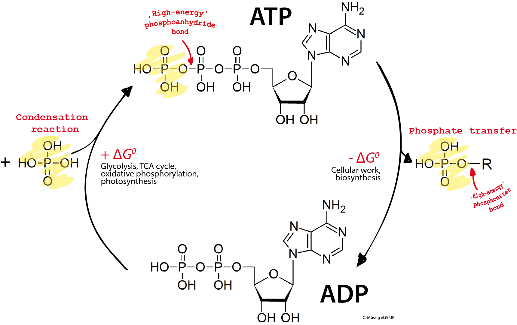 hight resolution of atp the fuel that powers our cells