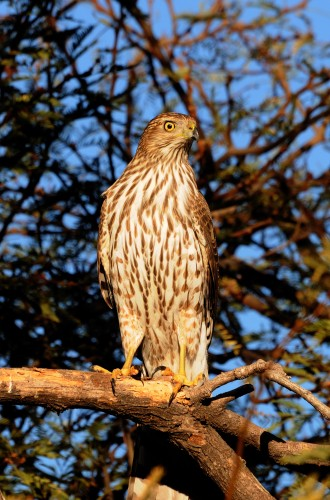 Predatory Birds  FeederWatch