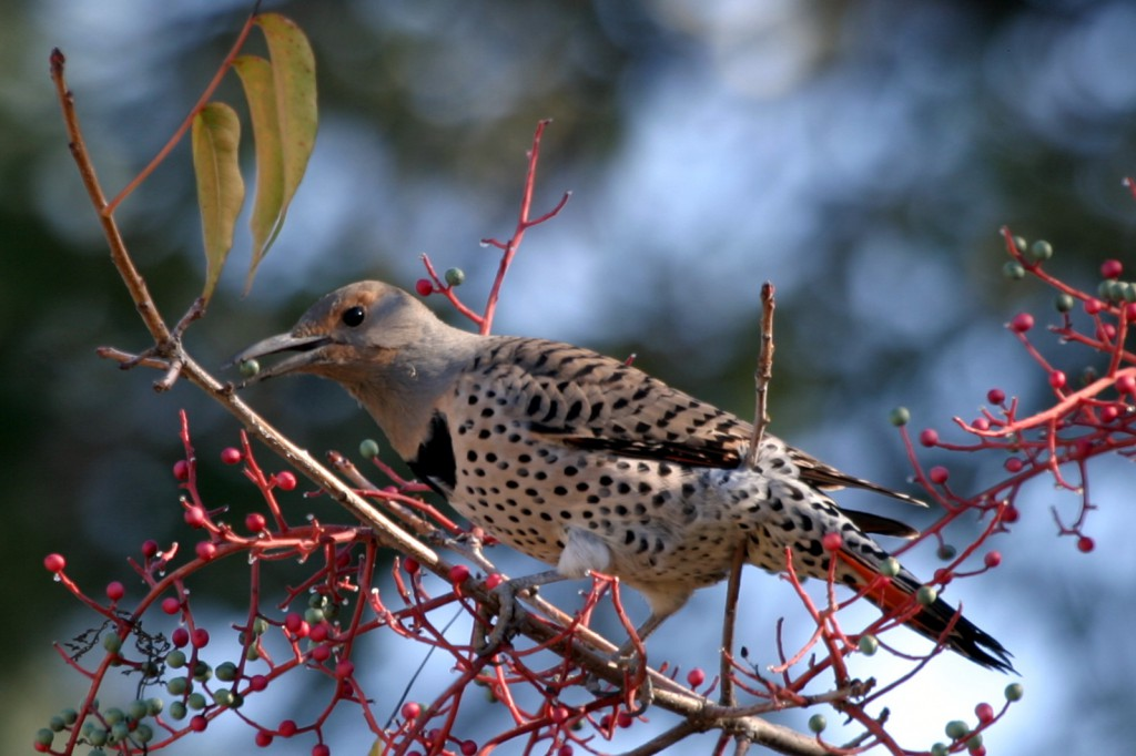 Northern Flicker  FeederWatch