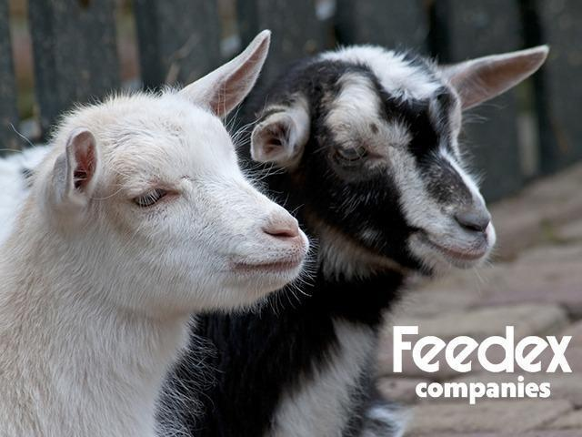 Goat Feeding Tips-Organic Livestock Feed-Feedex