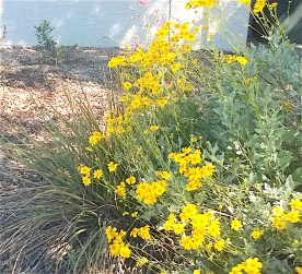 large shrub with yellow flowers
