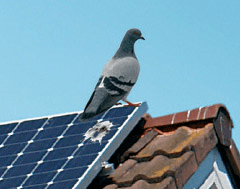 Pidgeon on Roof