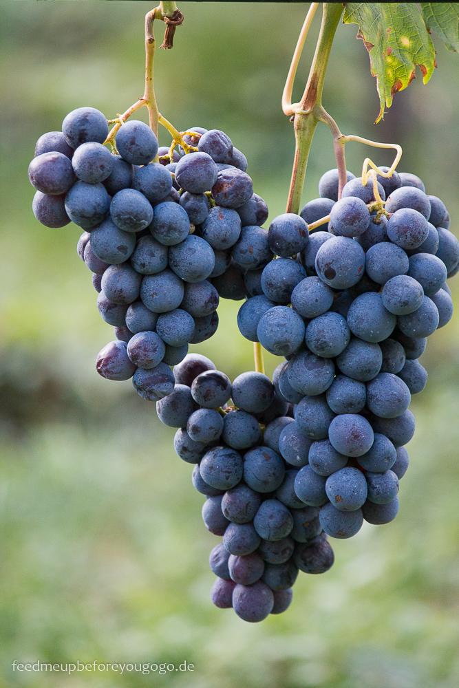 Kaltern Südtirol blaue Trauben an der Weinrebe