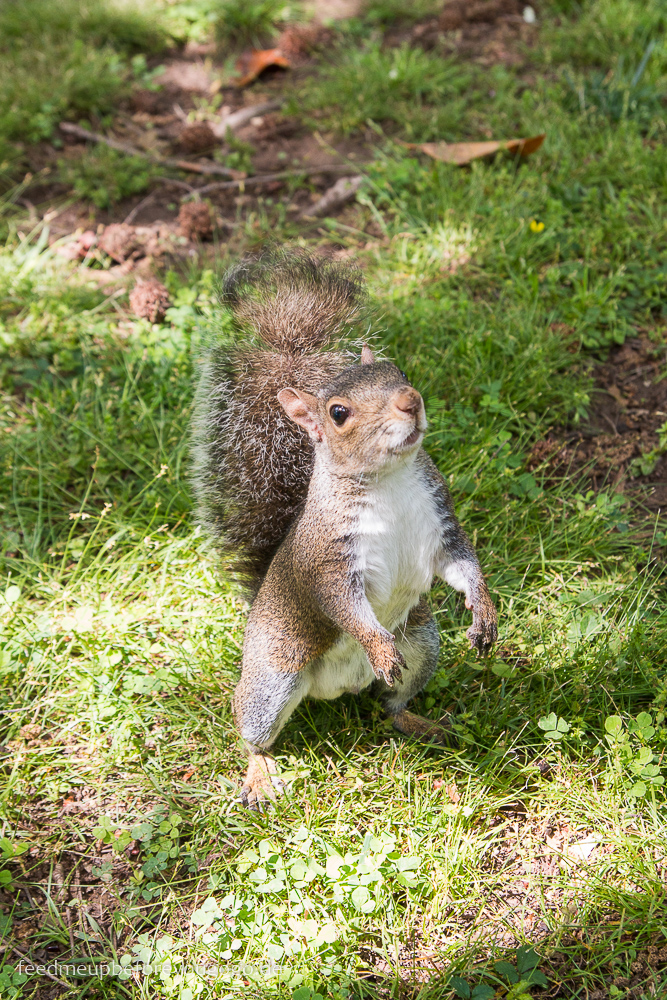 Squirrel Eichhörnchen Centennial Park Nashville Tennesse Reisetipps Feed me up before you go-go