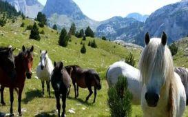 prenj konji
