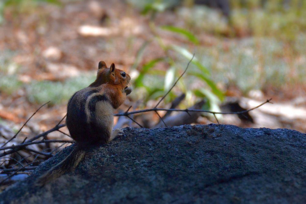 A chipmunk near Taft Point