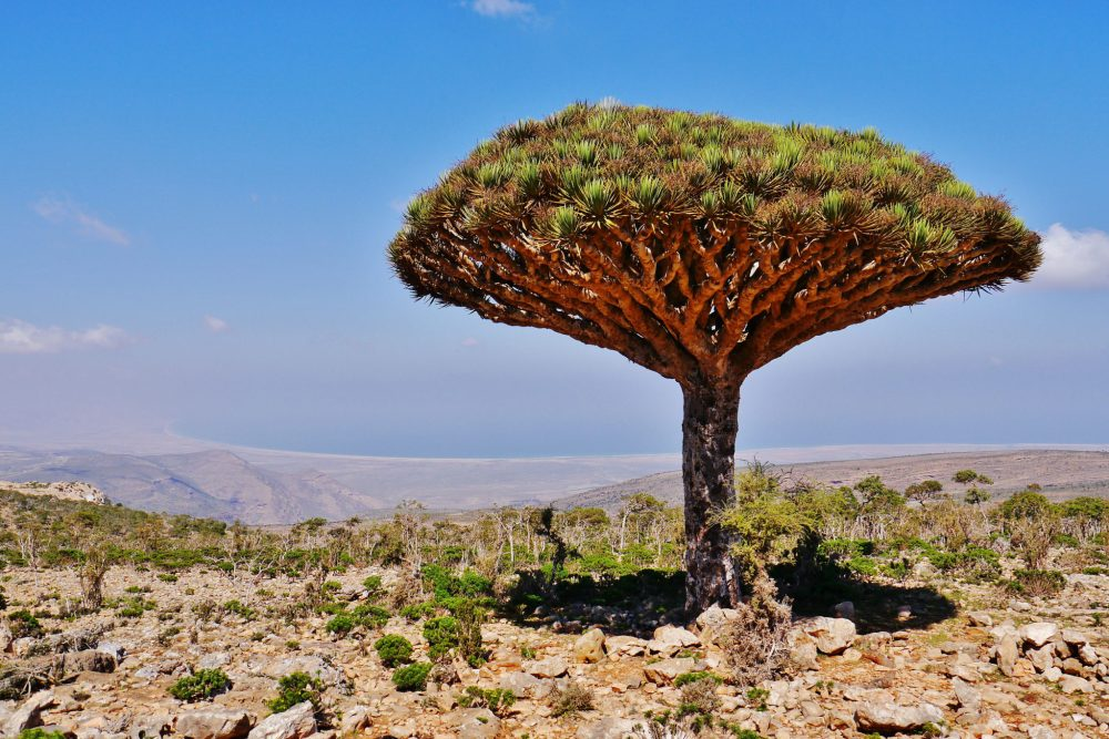 Dragon's Blood Tree at Dixam Plateau