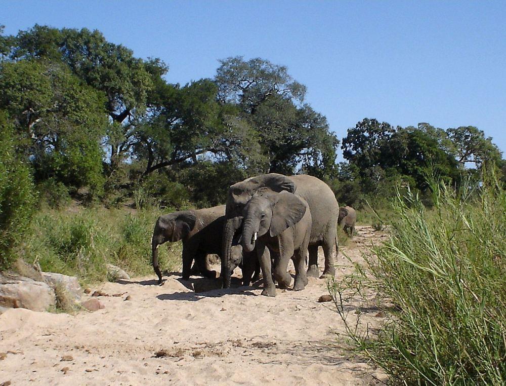 Elephants at Kruger National Park