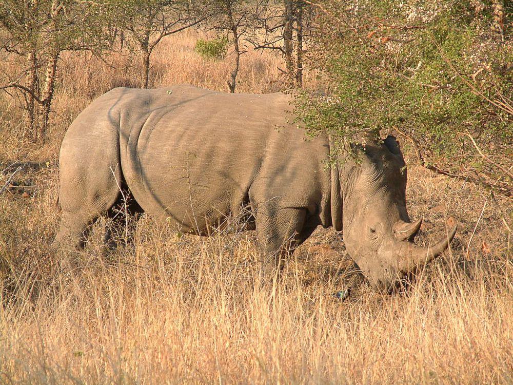 White rhinoceros at Kruger National Park