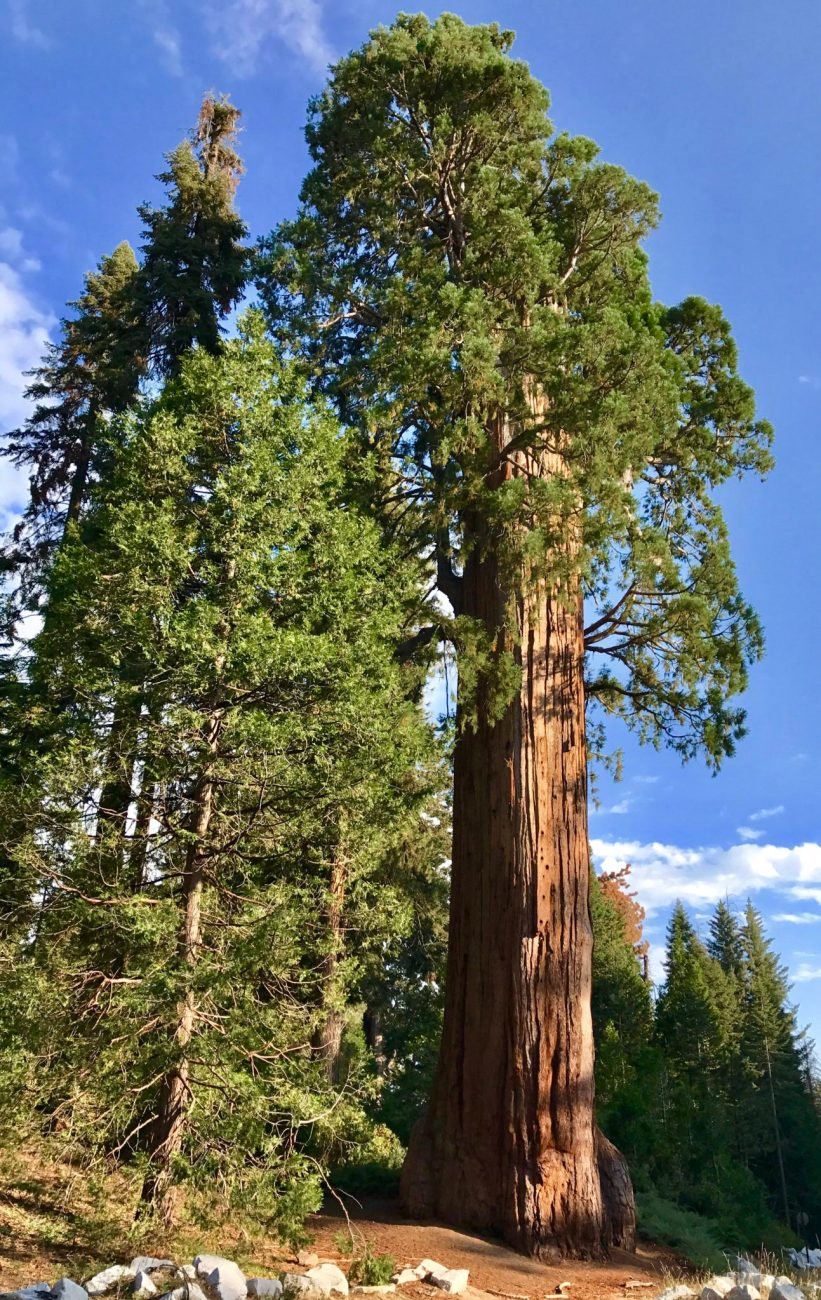 Giant Sequoia in Kings Canyon near the Big Stump entrance