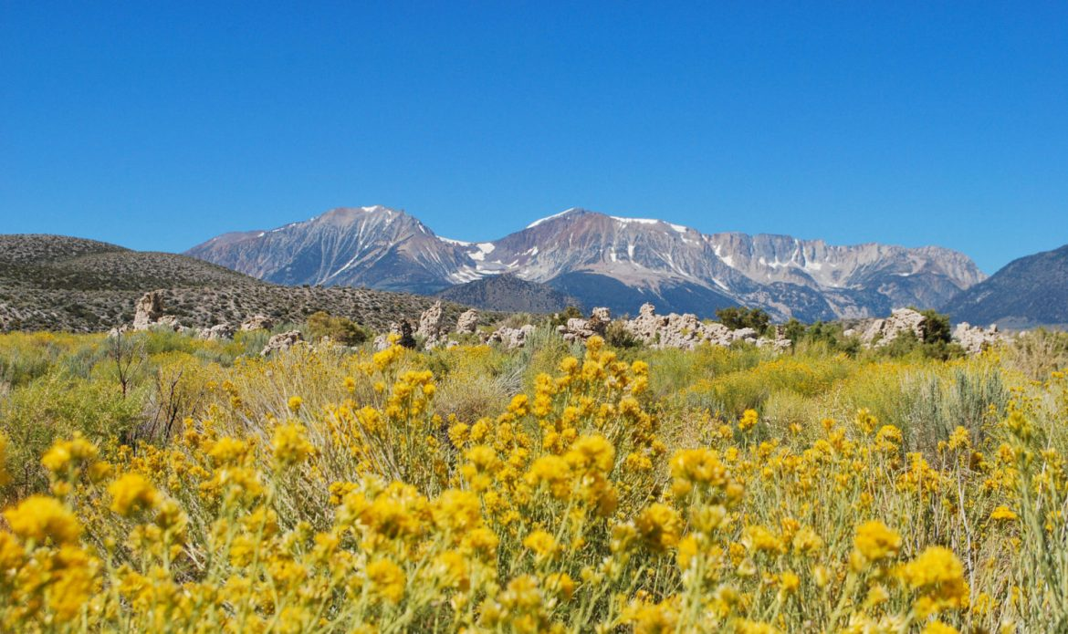 Wild flowers with the Sierra Mountains