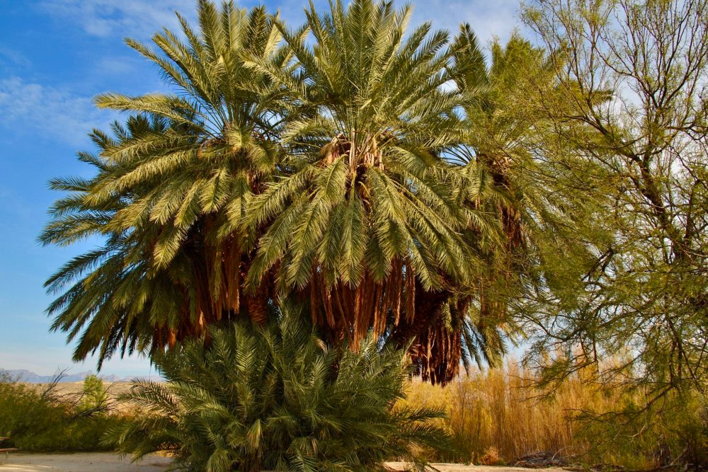 The giant cluster of palm trees on Hot Springs Historic Trail