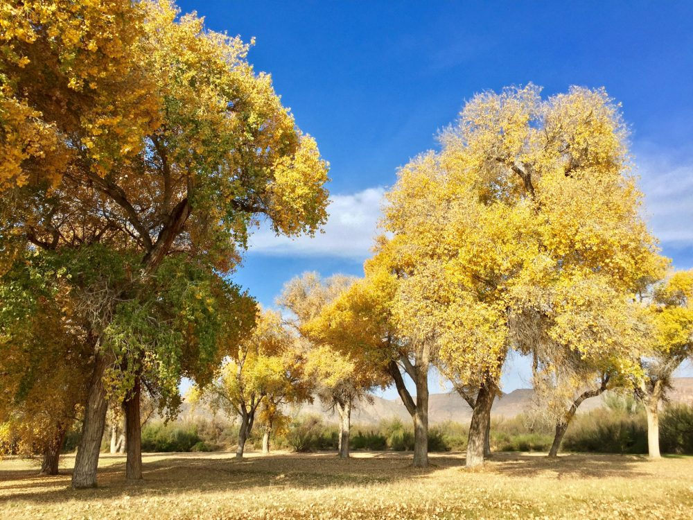 Fall-colored trees near Daniels Ranch in Big Bend