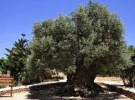 olijfboomvouves