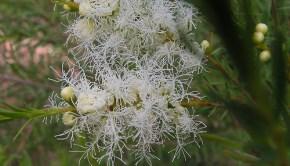 tea tree plant