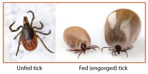 fed-tick