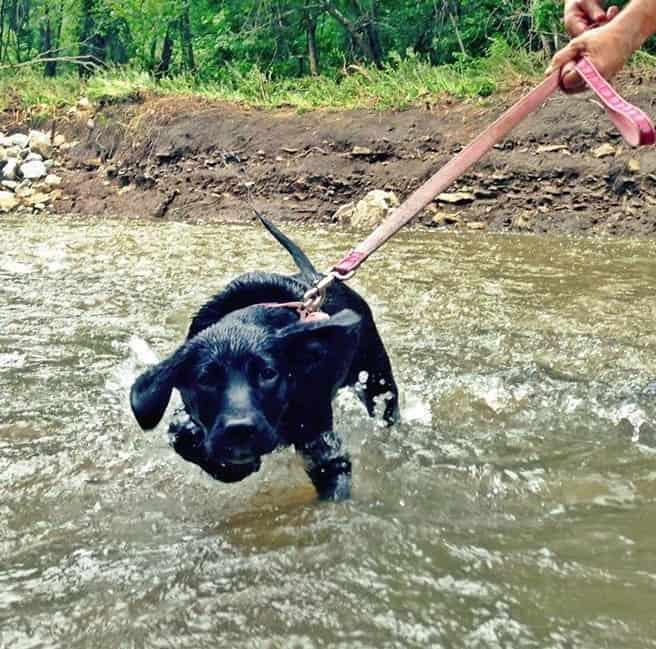 Newman's Own Organics Dog Food kona cockerham williams black labrador mix rescue