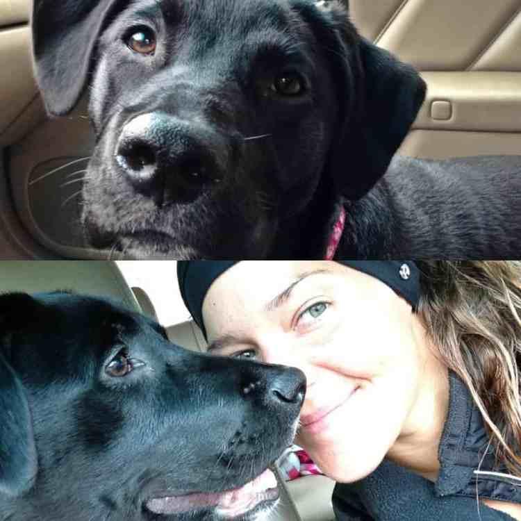 black labrador mix rescue