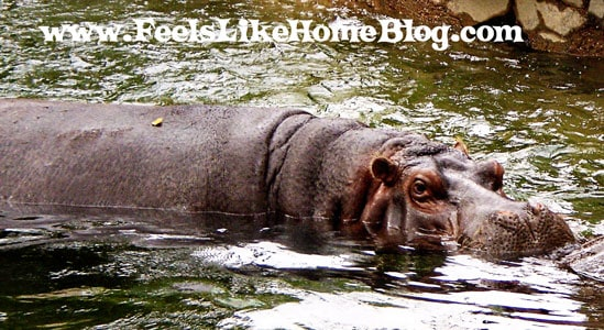 Big Hippo at the Zoo