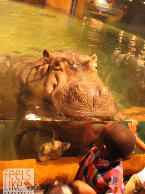 hippopotamus at Adventure Aquarium in New Jersey